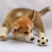 Щенок — выбор щенка — воспитание и обучение щенка