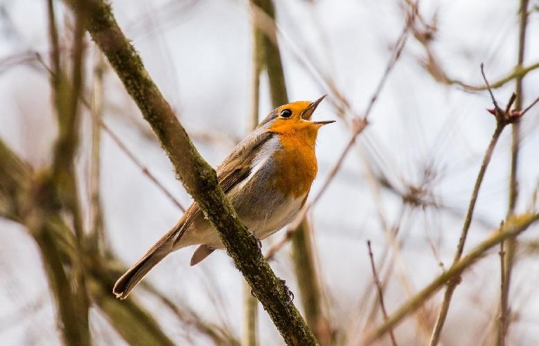 Зачем и как поют птицы