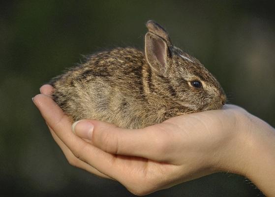 Домашний заяц возвращается в лес