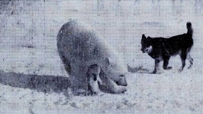 Белые медведи и собаки острова Хейса