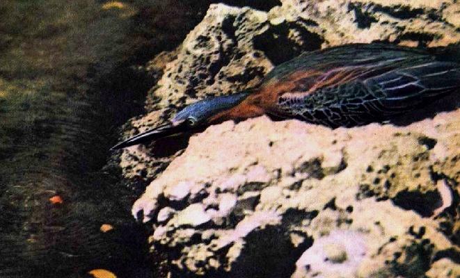 Кваква птица рыболов