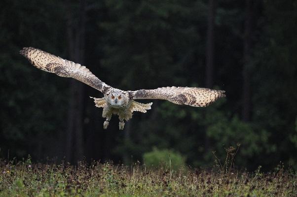 Домашняя сова Филька