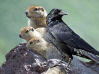 Эскимоссая сказка евражка и ворон
